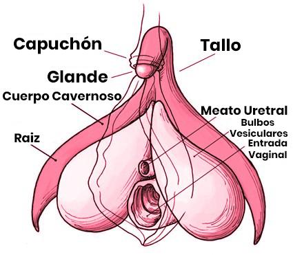 vulva dentro